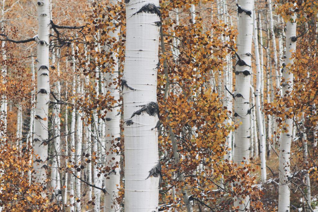 berken sap gezond bomen