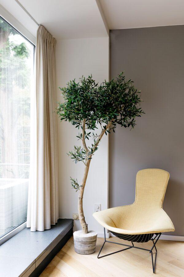 grote kunst olijfboom binnen kunstboom